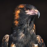 Closeup of a Black-breasted Buzzard