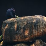 A Chimpanzee sitting on a rock