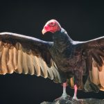 Turkey Vulture Spreading Wings