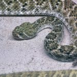 Closeup of a Rattlesnake
