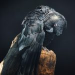 Portrait of a Carnaby's black cockatoo