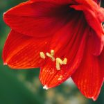Macro of a Red Amaryllis Lily Flower