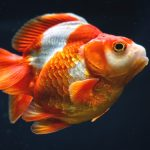 Closeup of a Red White Ryukin Goldfish