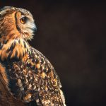 Closeup of an Eurasian Eagle Owl