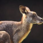 Portrait of a Kangaroo
