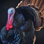 Portrait of a Turkey