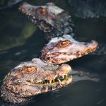 Three Dwarf Caimans in the Waters
