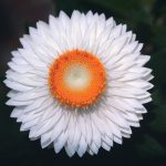 White Flower with Orange Center