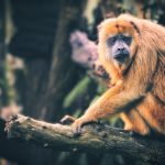 Female Black Howler Monkey Perches