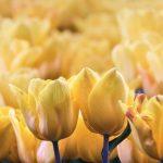 Macro of Yellow Tulips