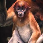 Portrait of a Young Proboscis Monkey