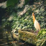 A Cattle Egret by the Stream