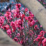 Sakura Cherry Blossoms Flowers