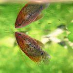 Macro of a Pearl Gourami Fish