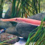 Closeup of a Trumpetfish