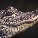 Closeup of an African Dwarf Crocodile